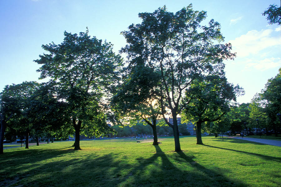 trees_in_Cambridge_Common
