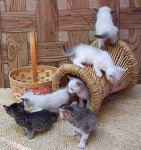 Foster_Kittens_by_LilleahWest