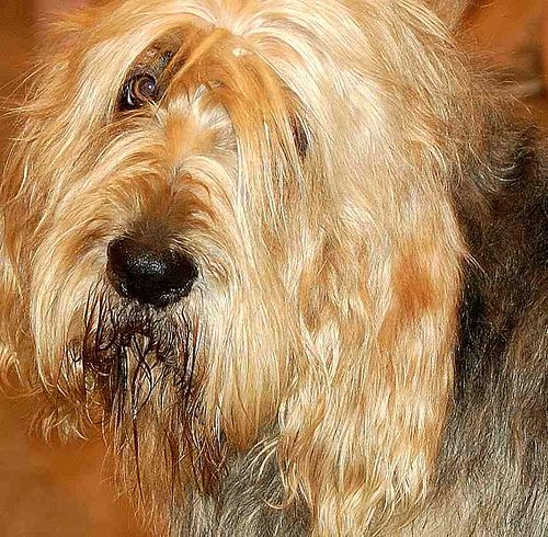otterhound01