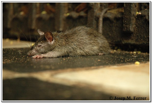 Mouse_7_