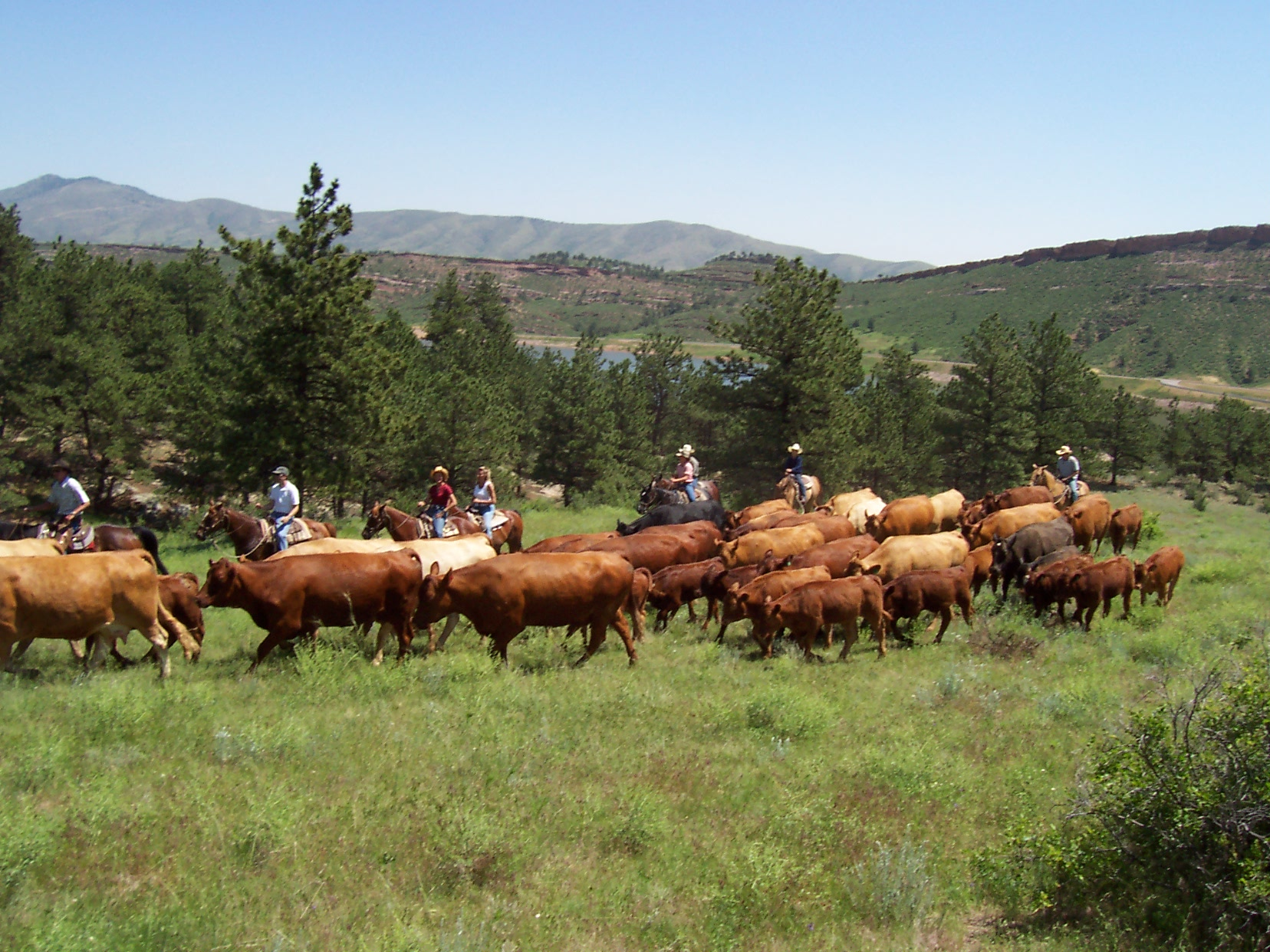 Cattle_Roundup